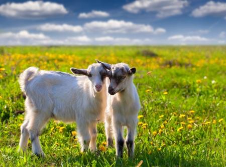 夏の緑の芝生の上の 2 つのヤギ 写真素材