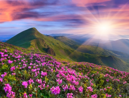 rhododendron: Magic pink rhododendron flowers in the mountains. Summer sunrise