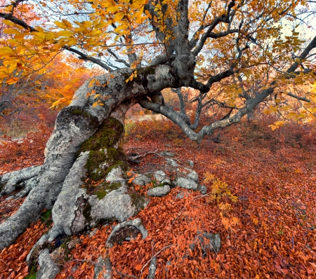 Huge beech in the colorful autumn forest photo