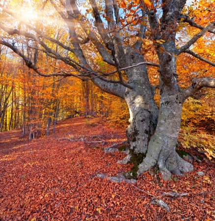 Huge beech in the autumn forest photo