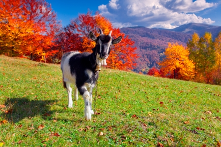 mountain goat: Young goat on pasture in the mountains in autumn
