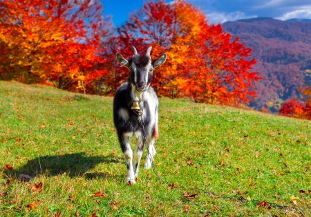 Young goat on pasture in the mountains in autumn photo