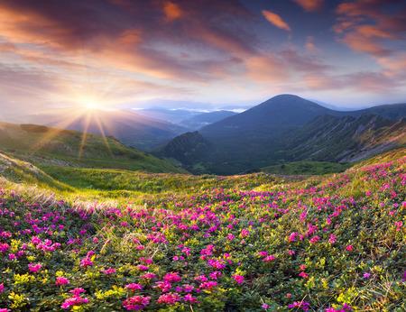 Fleurs de rhododendrons roses magiques dans les montagnes. le lever du soleil d'été Banque d'images