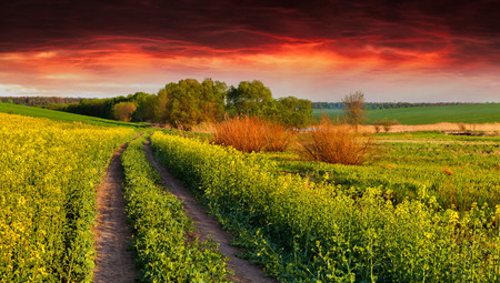 Summer landscape with a field of yellow flowers. Dramatic sunset. photo