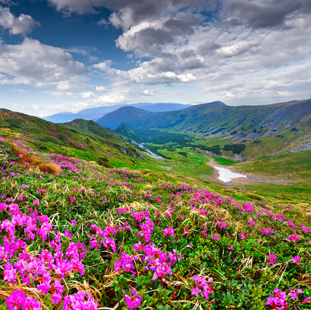 Magic pink rhododendron flowers on summer mountain photo