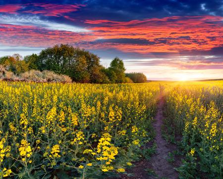 黄色の花のフィールドを持つ夏の風景です。日の出
