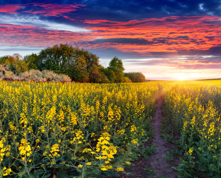Summer landscape with a field of yellow flowers. Sunrise Фото со стока