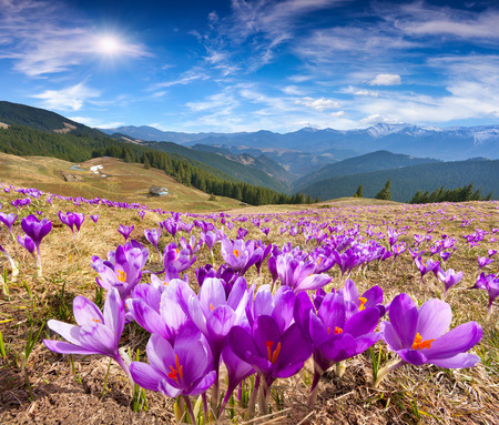 Blossom of crocuses at spring in the mountains Фото со стока
