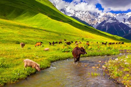 山の中に水をまく上牛。夏の晴れた日 写真素材