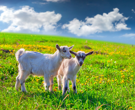 Two goats on a green lawn at summer