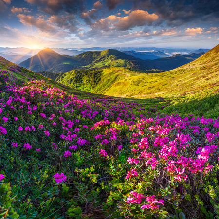 mountain meadow: Magic pink rhododendron flowers in the mountains. Summer sunrise