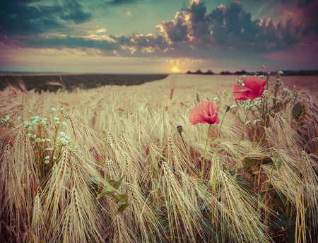 Beautiful summer sunset on a wheat field with poppies and daisies.  photo