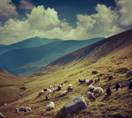 shepherd sheep: Flock of sheep  in the mountains. Retro style. Stock Photo