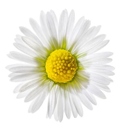 white daisy: Tiny daisy isolated on white
