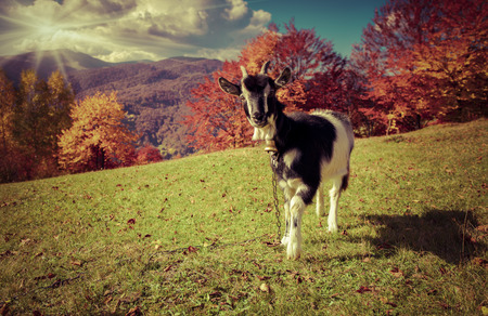 mountain goat: Young goat on pasture in the mountains in autumn. Retro style.