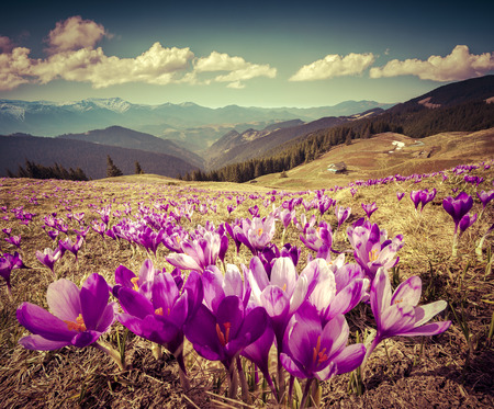 Blossom of crocuses at spring in the mountains. Retro style.