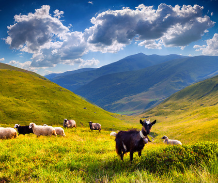 mountain goat: flock of sheep and goat in the mountains at summer Stock Photo