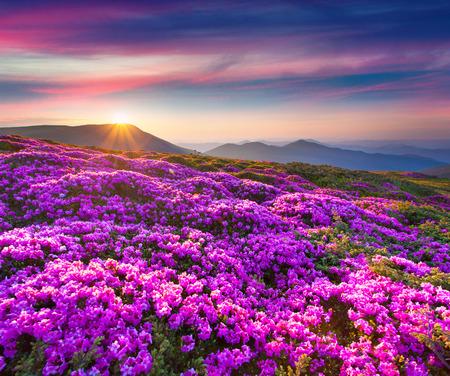 山中魔法のピンク色のシャクナゲの花。夏の日の出 写真素材
