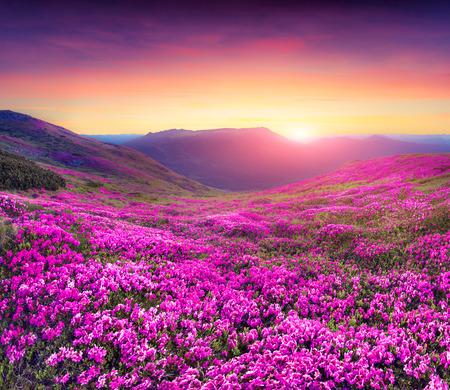 primavera: Magia flores de rododendro rosa en la monta�a. Amanecer en el verano Foto de archivo