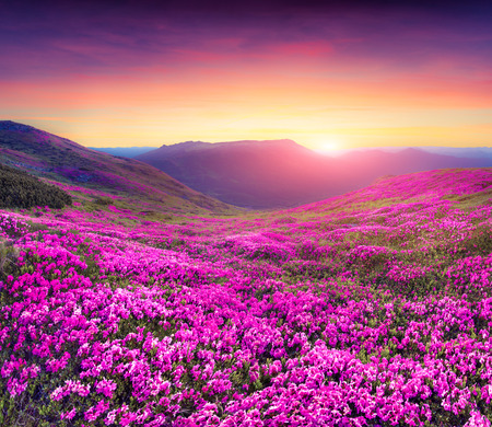 morning light: Magic pink rhododendron flowers in the mountains. Summer sunrise