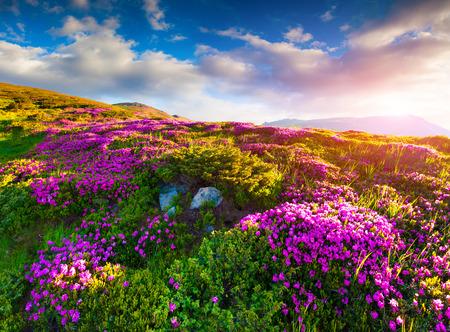 산에서 mornig 안개에 마법의 핑크 진달래 꽃 스톡 콘텐츠
