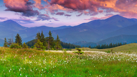 colorful sunrise: Blooming feather grass in the summer mountains. Colorful sunrise.