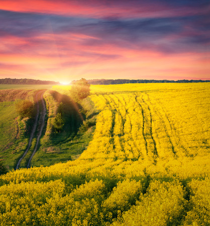 Colorful summer sunrise on the field of blossom canola photo