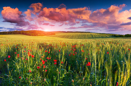 Colorful summer sunrise on the field of wheat photo