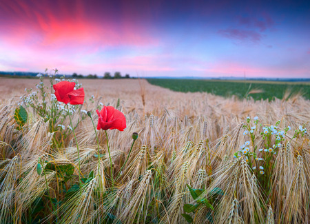Colorful summer sunset on a wheat field with poppies and daisies photo