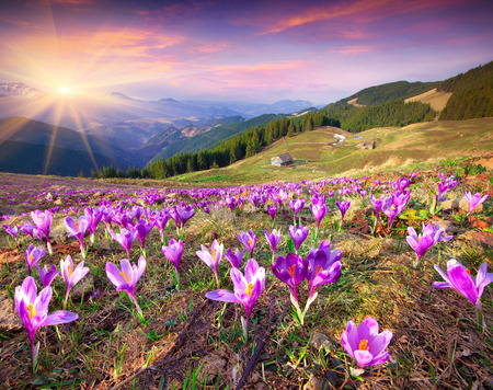 Blossom of crocuses at spring in the mountains. Colorful sunset. Stock Photo