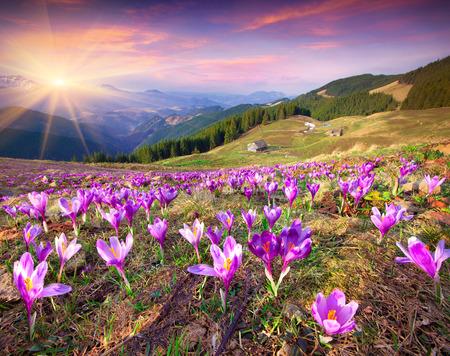 Blossom van krokussen in de lente in de bergen. Kleurrijke zonsondergang. Stockfoto