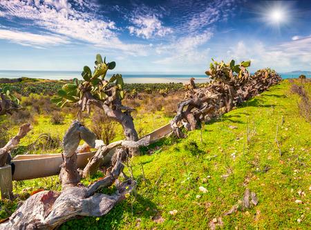 vi�edo: Abandonado vi�edo en la costa sur de Sicilia, Italia, el mar Tirreno, Europa.