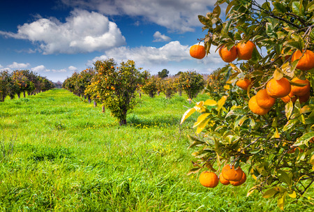 Sunny morning in orange garden in Sicily, Italy, Europe.