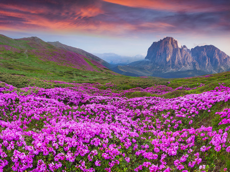 Colorful summer sunrise in the  mountains. Fields of blossom rhododendrons in the morning mist.