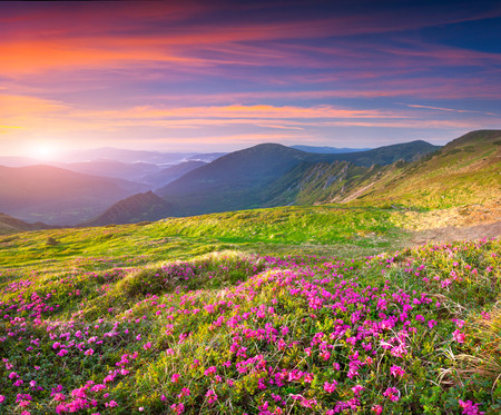 fields of flowers: Colorful summer sunrise in the mountains with a fields of blossom rhododendron flowers Stock Photo