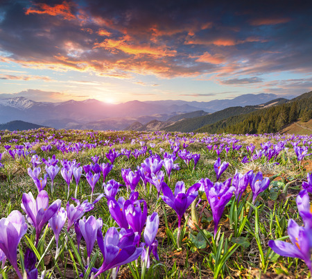 Colorful spring sunrise with field of blossom of crocuses in mountains 免版税图像