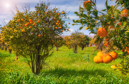 Sunny morning in orange garden in Sicily, Italy, Europe.