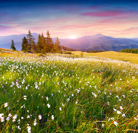 views of the mountains: Colorful summer sunrise in the  mountains with a field of feather grass flowers
