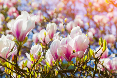 outdoor scenery: Blooming magnolia flowers in the Keukenhof park, used as background. Beautiful outdoor scenery in Netherlands, Europe.