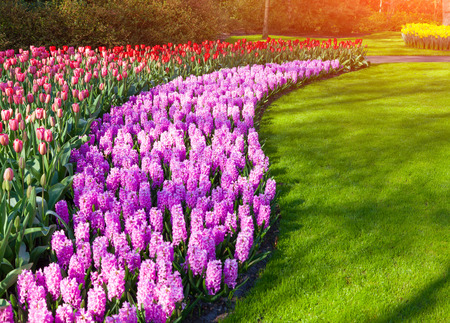 outdoor scenery: Marvellous hyacinth and tulips flowers in the Keukenhof park, used as background. Beautiful outdoor scenery in Netherlands, Europe.