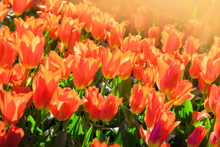 outdoor scenery: Marvellous tulip flowers in the Keukenhof park, used as background. Beautiful outdoor scenery in Netherlands, Europe.