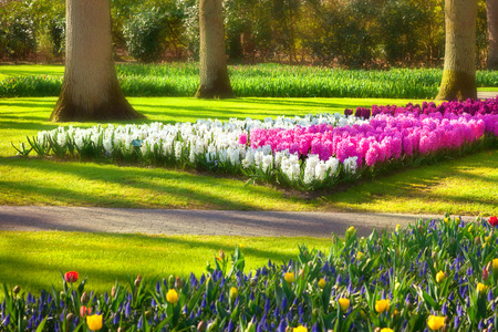 outdoor scenery: Marvellous hyacinth flowers in the Keukenhof park, used as background. Beautiful outdoor scenery in Netherlands, Europe. Soft focus effect.