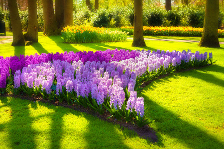 marvellous: Marvellous hyacinth flowers in the Keukenhof park, used as background. Beautiful outdoor scenery in Netherlands, Europe. Soft focus effect.