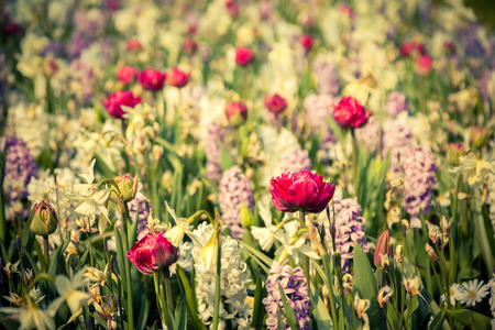Colorful spring flowers in the Keukenhof park, used as backgroun. Beautiful outdoor scenery in Netherlands, Europe. Vintage styly. photo