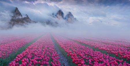 야외 재배 튤립 필드와 환상적인 봄 풍경. 신비한 안개 수평선에 산을 숨기기.