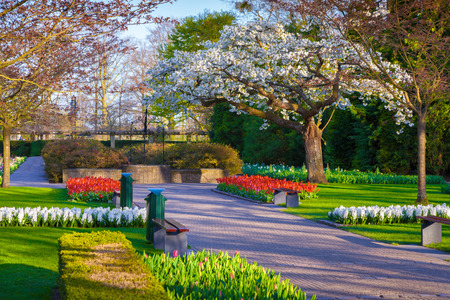 outdoor scenery: Blooming sakura in the spring Keukenhof park. Beautiful outdoor scenery in Netherlands, Europe.