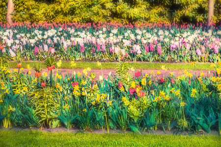 outdoor scenery: Colorful spring flowers in the Keukenhof park, used as backgroun. Beautiful outdoor scenery in Netherlands, Europe. Soft focus effect.