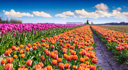 Tulip farm near the Creil town. Beautiful outdoor scenery in Netherlands, Europe.