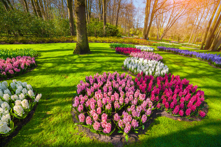 outdoor scenery: Marvellous hyacinth flowers in the Keukenhof park, used as background. Beautiful outdoor scenery in Netherlands, Europe. Stock Photo