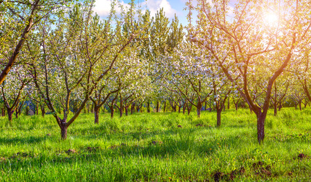 colorfu: Colorfu spring morning in the blossom apples garden